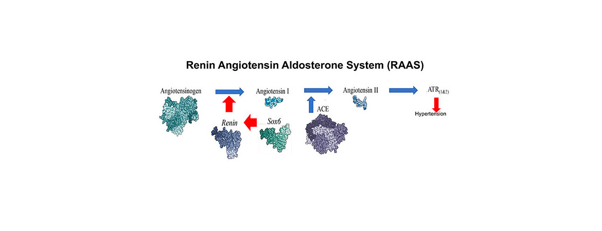 The Renin Angiotensin Aldosterone System (RAAS) plays a key role in regulating blood pressure in humans. Renin controls the rate-limiting step in the conversion of angiotensinogen to angiotensin I. In adults, renin is produced and stored by juxtaglomerular (JG) cells in the kidney.